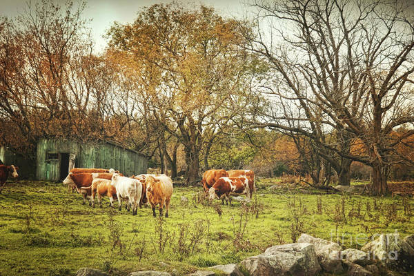 Wall Art - Photograph - Cattle Gazing On Remaining Green Grass by Sandra Cunningham