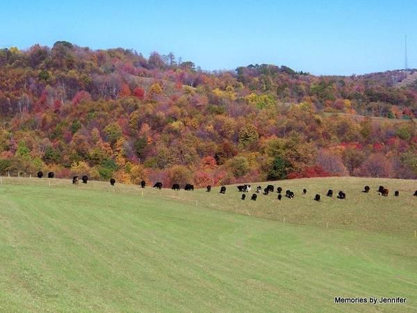 Jennifer Stone Photograph - Cattle Grazing by Jennifer Stone