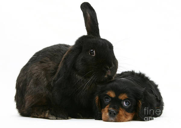 Spaniel Photograph - Cavalier King Charles Spaniel And Rabbit by Mark Taylor