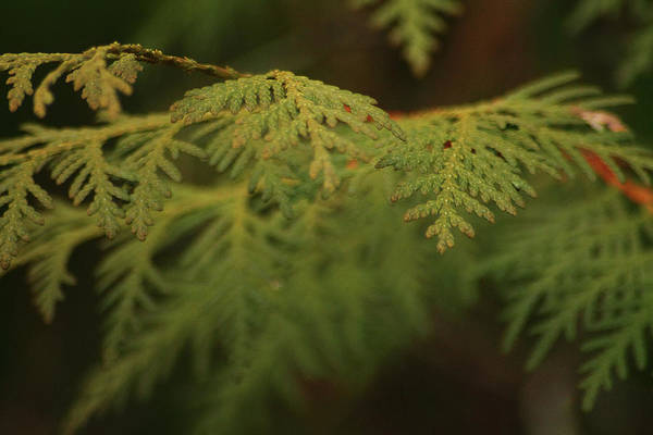 Photograph - Cedar by Scott Hovind