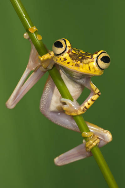 Photograph - Chachi Tree Frog Hypsiboas Picturatus by Pete Oxford