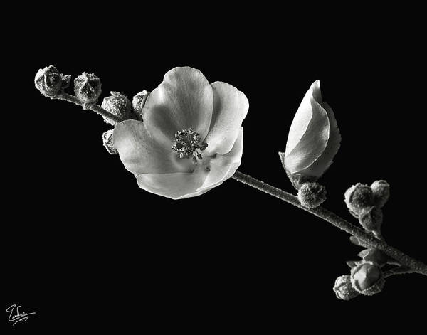 Wall Art - Photograph - Chaparral Mallow In Black And White by Endre Balogh