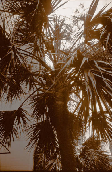 Photograph - Charleston Palm Tree by Emery Graham