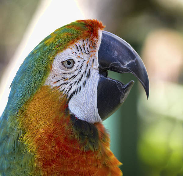 Photograph - Chatty Macaw by Clare Bambers