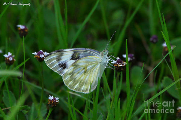 Photograph - Checkered White Butterfly by Barbara Bowen