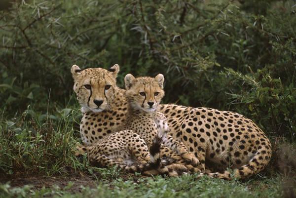 Photograph - Cheetah 5 Month Old Cub Snuggled by Suzi Eszterhas
