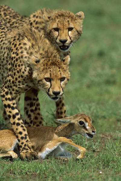 Photograph - Cheetah 8 Month Old Cub Learning by Suzi Eszterhas