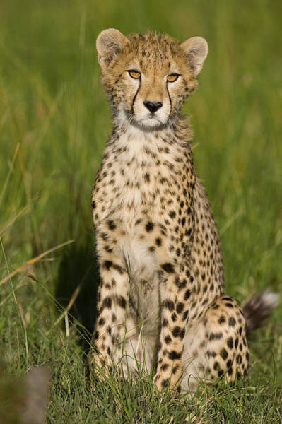 Photograph - Cheetah 9 Month Old Cub Masai Mara by Suzi Eszterhas