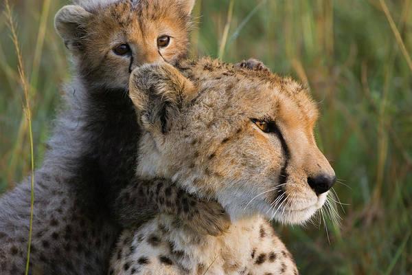 Photograph - Cheetah Acinonyx Jubatus Eight Week Old by Suzi Eszterhas