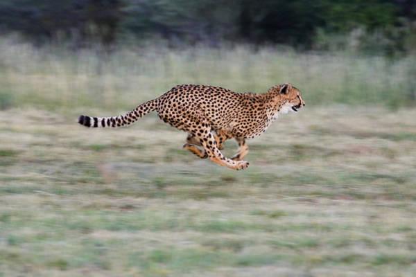 Photograph - Cheetah Acinonyx Jubatus Running by Suzi Eszterhas