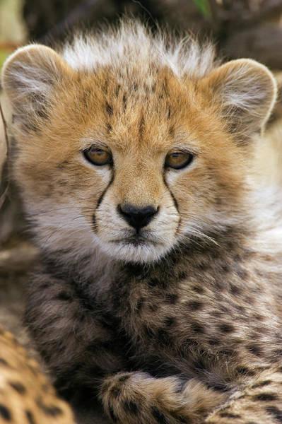 Photograph - Cheetah Acinonyx Jubatus Ten To Twelve by Suzi Eszterhas