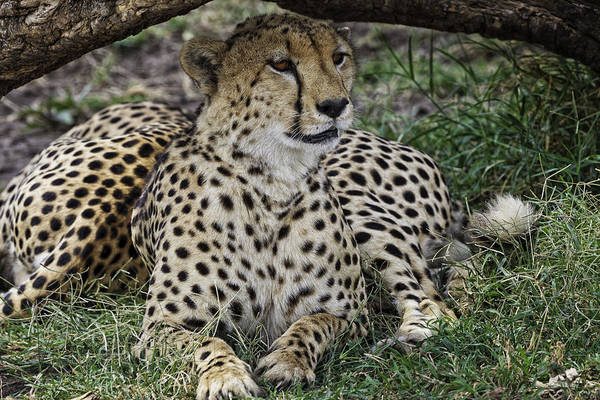 Photograph - Cheetah Alert by Perla Copernik