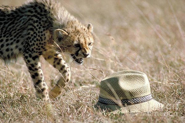 Photograph - Cheetah Cub Approaches Hat by Greg Dimijian