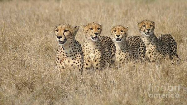 Cheetah Family Art Print