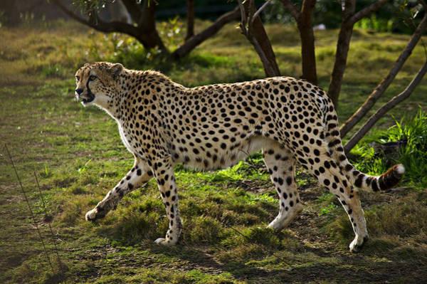 Cheetah Photograph - Cheetah  by Garry Gay