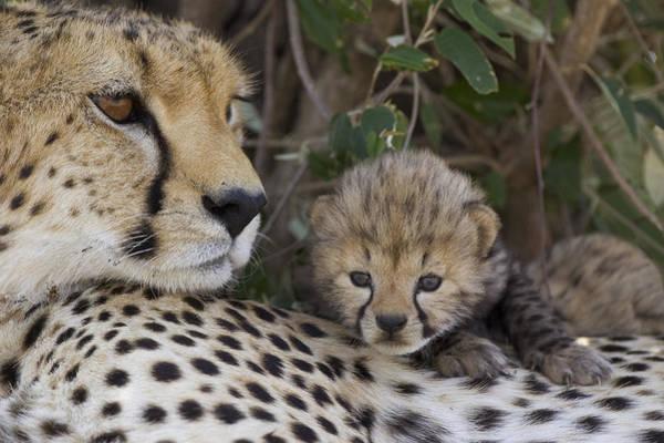 Photograph - Cheetah Mother And 7 Day Old Cub Maasai by Suzi Eszterhas