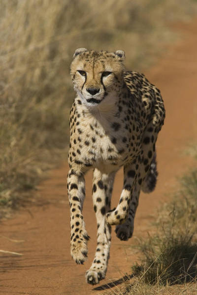 Photograph - Cheetah Running In Namibia by Suzi Eszterhas