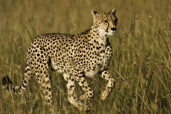Wall Art - Photograph - Cheetah Running by Manoj Shah