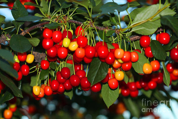 Photograph - Cherries by Donna L Munro