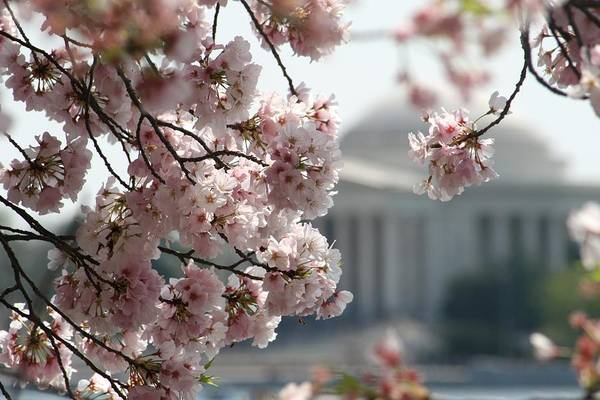 Wall Art - Photograph - Cherry Blossom Washington by Valia Bradshaw