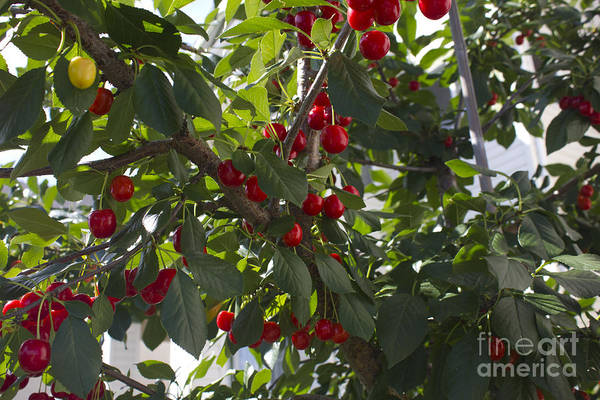 Photograph - Cherry Branch by Donna L Munro
