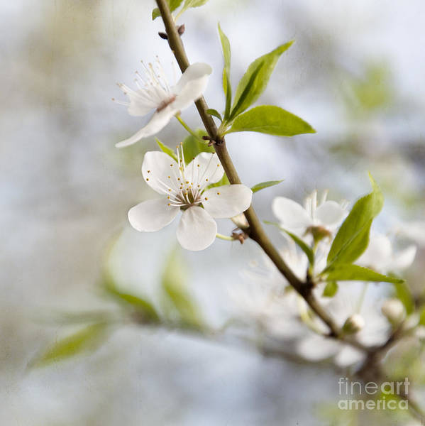Photograph - Cherry Tree Blossom by Agnieszka Kubica