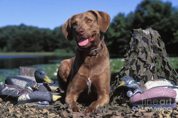 Wall Art - Photograph - Chessie And Decoys - Fs000666 by Daniel Dempster