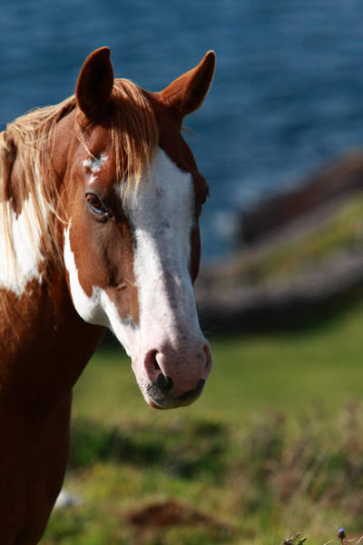 Photograph - Chestnut Mare  by Aidan Moran