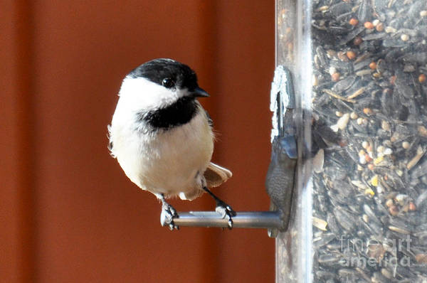 Photograph - Chickadee by Cheryl McClure