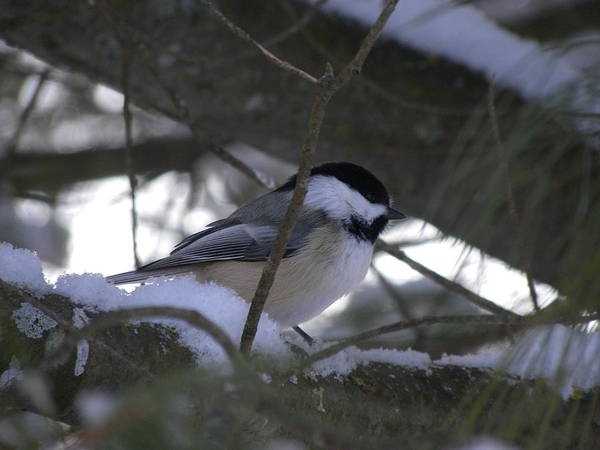 Photograph - Chickadee In Pines by Peggy  McDonald