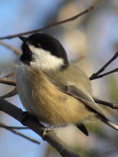 Photograph - Chickadee by Peggy  McDonald