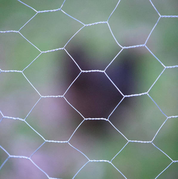 Protection Photograph - Chicken Wire by Peter Chadwick LRPS
