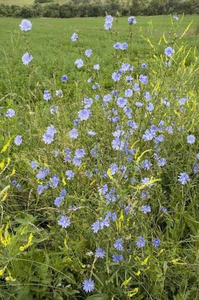 Chicory Flowers (cichorium Intybus) Art Print