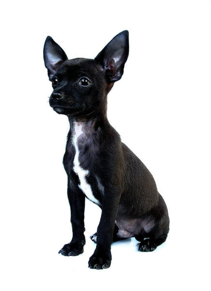 Puppy Photograph - Chihuahua Puppy by Hapa