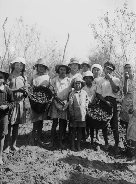 Kibbutz Photograph - Children And Teenagers Gather Almonds by Everett