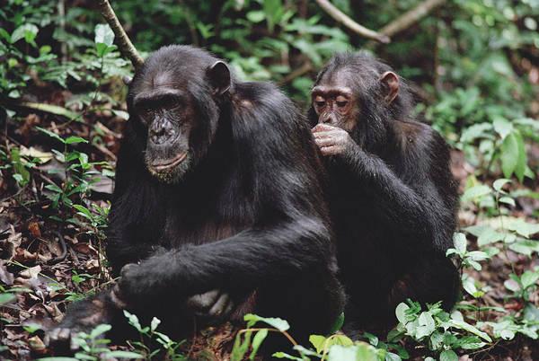 Gombe National Park Wall Art - Photograph - Chimpanzee Pan Troglodytes Pair by Gerry Ellis