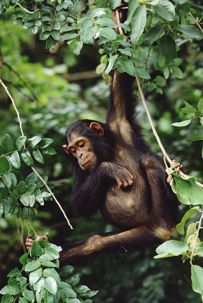 Gombe National Park Wall Art - Photograph - Chimpanzee Pan Troglodytes Swinging In by Gerry Ellis
