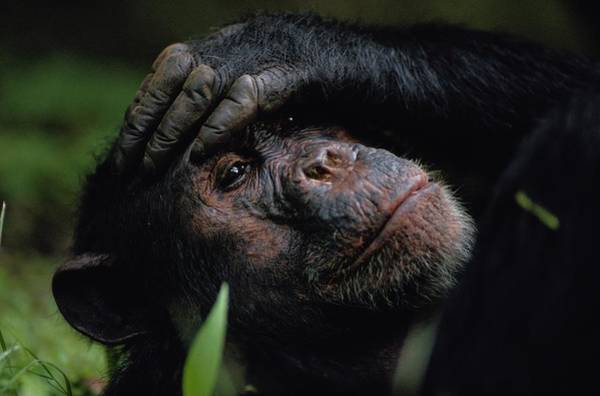 Gombe National Park Wall Art - Photograph - Chimpanzees, As Reported By Jane by Michael Nichols