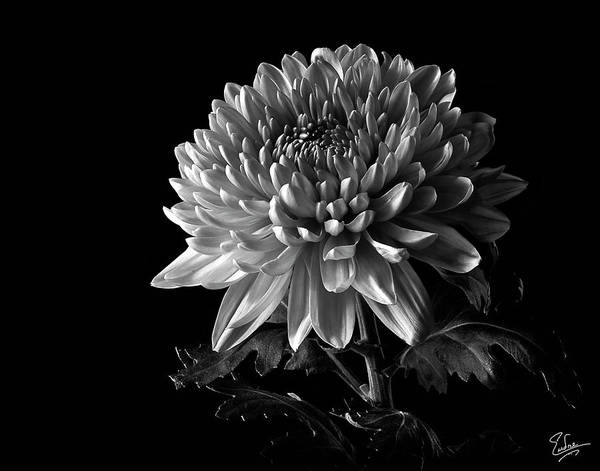 Wall Art - Photograph - China Chrysanthemum In Black And White by Endre Balogh