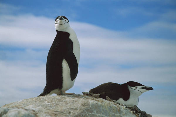 Photograph - Chinstrap Penguin Couple In Rookery by Colin Monteath