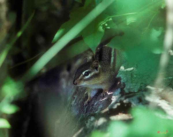 Photograph - Chipmunk 17a by Gerry Gantt