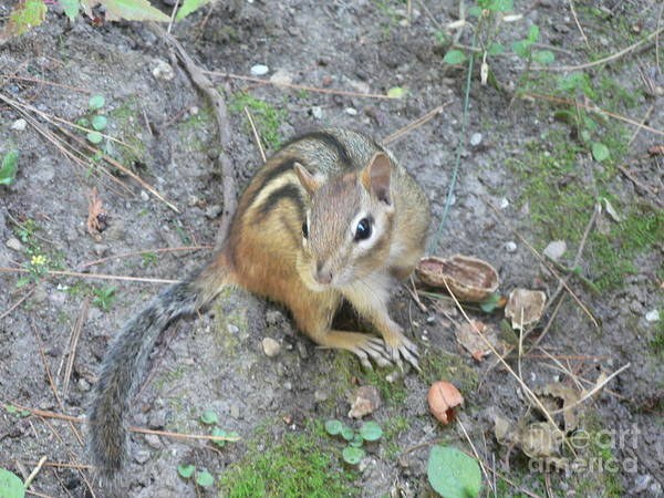 Photograph - Chipmunk Feast by Laurel Best