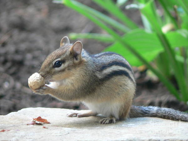 Photograph - Chipmunk by Laurel Best