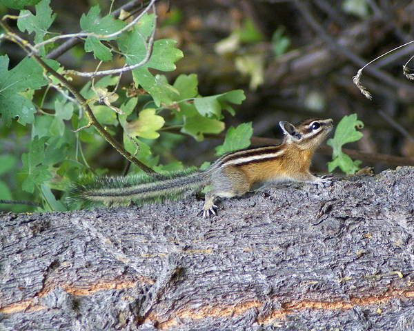 Photograph - Chipmunk On A Log by Ben Upham III