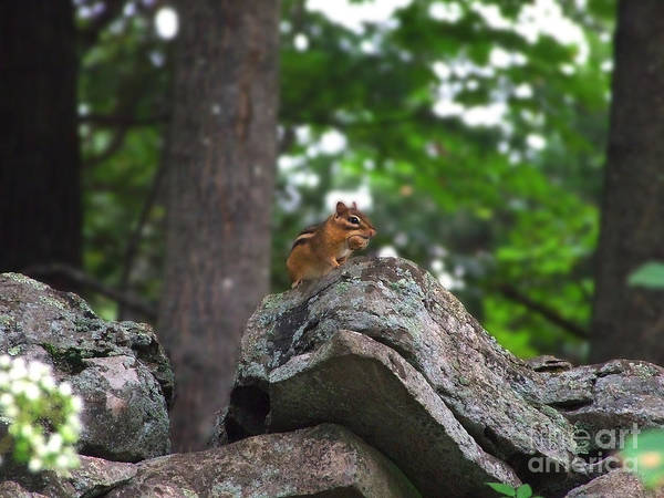 Photograph - Chipmunk With Nut Photograph by Kristen Fox