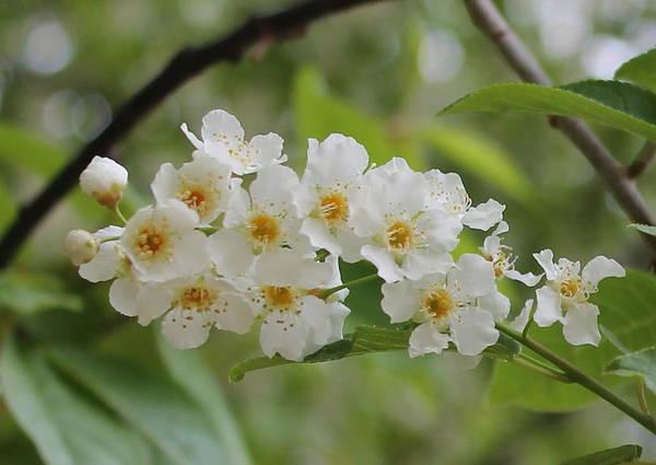 Moberly Photograph - Chokecherry Blossoms by Matt Moberly