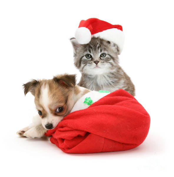 Photograph - Christmas Kitten And Puppy by Jane Burton