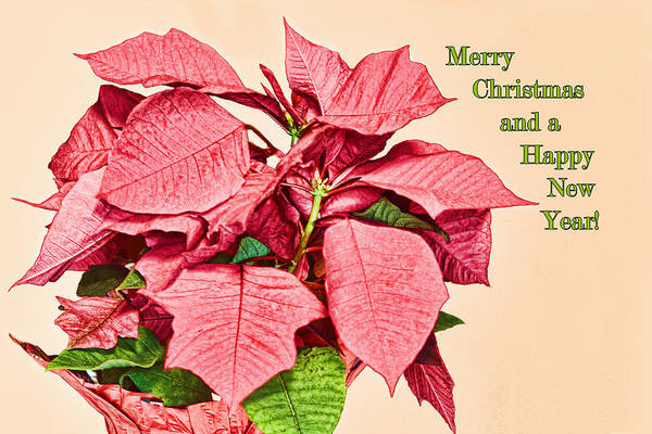 Sketch Holiday Photograph - Christmas Poinsettia Sketch by Linda Phelps