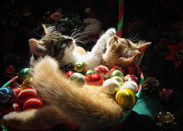 Photograph - Christmas Season W Two Kittens In Love - Kitty Cat Angels W Heads Up Nestled In A Basket Of Baubles by Chantal PhotoPix