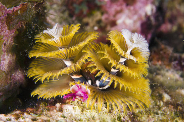 Photograph - Christmas Tree Worm Bonaire by Pete Oxford